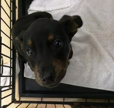 30465943 is an adoptable Mountain Cur searching for a forever family near Bryan, TX. Use Petfinder to find adoptable pets in your area.