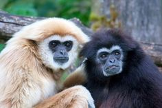 Gibbons come in various color shades from black to dark brown, orangish-brown and light blonde. In Khao Kheow Open Zoo we have a special activity dedicated to them, called 'flight of the gibbons