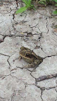 A Gulf Coast Toad (Incilius nebulifer) emerges from its subterranean lair to observe a group of humans out on a nature hike at Santa Ana National Wildlife Refuge, Alamo, TX, USA.photograph by Raul Garza Jr. Reptiles And Amphibians, Mammals, Amazing Frog, Funny Frogs, Tx Usa, Frog And Toad, Woodland Animals, Pet Birds, Animal Pictures