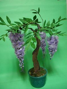 Wisteria bonsai. Wow they look so pretty. Please check out my website thanks. www.photopix.co.nz