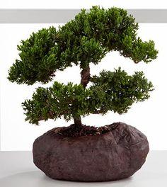 Green Mound Juniper Bonsai