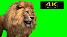 The lion is a species in the family Felidae; it is a muscular, deep-chested cat with a short, rounded head, a reduced neck and round ears, and a hairy tuft a. Free Green Screen Backgrounds, Green Screen Images, Green Screen Video Effect, Green Screen Photo, Backgrounds Free, Green Background Video, Photo Background Images Hd, Black Background Wallpaper, Studio Background Images