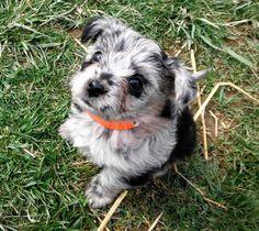 Blue Merle yorkie poo. Blue Merle, Little Dogs, Yorkie, Cute Puppies, Fur Babies, Funny Animals, Ideas, Little Puppies, Yorkies