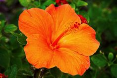 Uncommon Orange Hibiscus | Hawaii Pictures of the Day