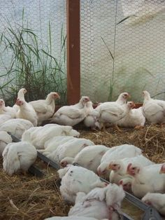 Simple, Green, Frugal Co-op: Raising meat chickens