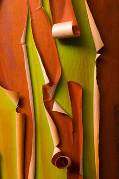 The curling, peeling #bark of the Arbutus tree (Arbutus menziesii), also known as a Pacific Madrone, forms abstract patterns.