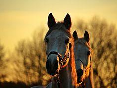 Les fonds d'écran - La tête de deux chevaux gris