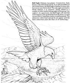 Nature - Bald Eagle - Dover