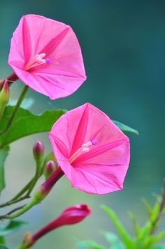 "you-re-simply-the-best1: "" Pink Morning Glory - fnpsblog.blogspot.co.uk  """