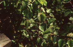 Szőrös nyír (Betula pubescens, Betulaceae) (Turcsányi Gábor felvétele) reliktum faj Plant Leaves, Plants, Plant, Planets
