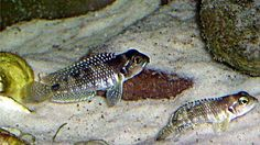 Planted Aquarium, Aquarium Fish, Victoria Lake, Lake Tanganyika, Monster Fishing, Tropical Aquarium, African Cichlids, Exotic Fish, Freshwater Fish