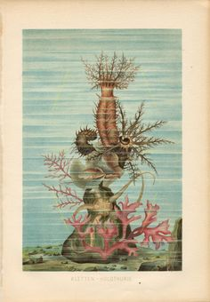 Box Canvas Print (other products available) - Sea ? Chromolithograph, published in - Image supplied by Fine Art Storehouse - inch Box Canvas Print made in the UK Fine Art Prints, Framed Prints, Canvas Prints, Brittle Star, Sea Life Art, Poster Size Prints, Cucumber, Seaweed, Illustration