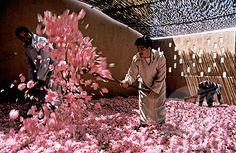 Rose festival, El Kelaa M'Gouna, Morocco