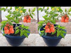 TÉCNICA VALE OURO PARA PLANTAÇÃO DE TOMATE (1 MINUTO RÁPIDO) - YouTube Make It Yourself, Plants, Growing Vegetables, Youtube, Gardening, Sayings, Hydroponic Gardening, Gardening Tips, Potato