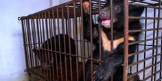 End bear torture farms in Vietnam!