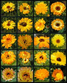 Calendula - Queen of Herbs by buttersweet, via Flickr  Recipe for Calendula Salve/Oil