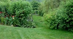 Native Cornus amomum & Buttonbush near stream