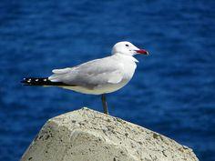 #seagull in #mallorca #portalsnous