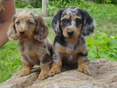 Boondocks Happy Hounds & Apparel has Dachshund Puppies and Fleece Clothes for Dogs