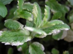 What Is Pineapple Mint: How To Care For Pineapple Mint Plants