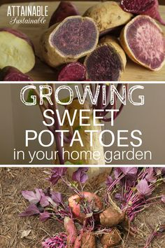 The trick to growing sweet potatoes in pots (or in the ground) is to start early so you'll be ready to get them in the ground as soon as your soil is warm enough. Include some in your vegetable garden this year.