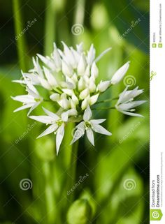 Photo about The delicate white flowers of Allium ursinum or more commonly known as wild garlic or Ramson. Image of forest, flower, blooming - 9002954 Wild Garlic, Allium, Edible Flowers, White Flowers, Bloom, Stock Photos, Garden, Plants, Image