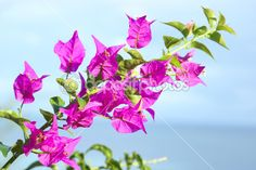 Flores de buganvilla — Imagen de stock #6484787