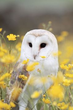 Owl. Mascota de Alba
