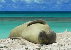 """Highly endangered Monk seals have been called """"living fossils"""" because they are considered to be on the order of 14-16 million years old. We certainly don't want to watch them become extinct! We hope that gaining insight into the diet of the small increasing Main Hawaiian Islands monk seal population will help us understand this species better and help to conserve a highly endangered species, before it is too late."""