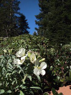 Erysimum concinnum—headland wallflower. Regional Parks Botanic Garden Picture of the Day. 23 Jan 17