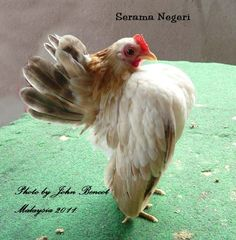serama negeri Bantam Chickens, Chickens And Roosters, Farm Animals, Animals And Pets, Brahma Rooster, Serama Chicken, Different Breeds Of Chickens, Chicken Roost, Duck Or Rabbit