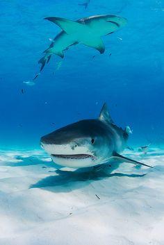 ♂ Underwater 2013 Bahamas 42 422 Tiger Beach Tiger shark by Tim Priest