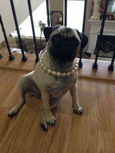 Truffles looking adorable in her pearls ❤ We think she is one of the prettiest pugs in alllllllll the land :)
