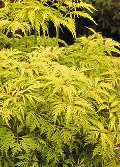 Sambucus Sutherland gold.  5-10' tall.  Half Sun/ Half Shade to Mostly Shady.  Resembles a large nodding fern, white flowers.