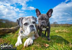 It was so nice to have a play date with Lilly the Boxer again recently, this time she brought her Frenchie buddy Ralph along! :)  What a gorgeous pair! <3  www.bounders.co.uk/ Photo Sessions, Funny Dogs, Boxer, French Bulldog, Bring It On, Play, Nice, Animals, Animales