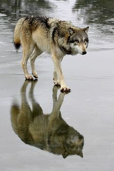 In the wild, when a wolf knows its time is over, when it knows it is of no more use to its pack, it may sometimes choose to slip away. Dying apart from its family, it stays proud and true to its nature. Humans aren't so lucky.