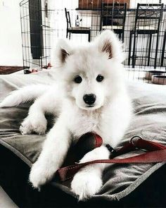 Dogs 🐶 - Cute Dogs, Dog cat and Doggies. Cute Baby Animals, Animals And Pets, Funny Animals, Funny Pets, Funny Husky, Cute Dogs And Puppies, I Love Dogs, Doggies, Samoyed Puppies