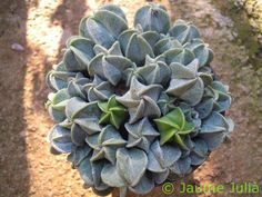 Amazing Unusual Plants To Grow In Your Garden Horticulture, Pretty Plants, Plants, Succulents, Cactus Plants, Trees To Plant, Unusual Plants, Garden Plants, Planting Succulents