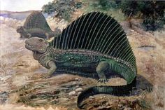 Dimetrodon was a large non-dinosaur reptile carnivore, weighing around 150Kg and existed around 299-260 million years ago. It is famous for the large sail on its back, which was probably used to regulate its body temperature. Dimetrodon was a synapsid, belonging to the family Sphenacodontidae.