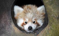 Un panda rojo escondido en su refugio del zoo de Whipsnade (Tony Margiocchi, 2015)
