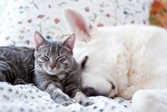 novamelina: ♥ Mau Onni Totoro our rescue cat who we love love love dearly!  Here 6 months old with our beloved 10 year old white swiss shepherd.  ♡♡♡  #cat #rescuecat #homecat #grey #kitten #kitty #baby #little #littlecat #whitedog #whiteshepherd #whiteswissshepherd #white #dog #shepherd