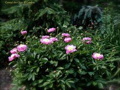 Herbaceous Peony 'Bowl of Beauty'