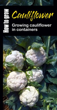 How to grow cauliflower in containers, Growing information, varieties, care, growing information. This is an annual plant that reproduces by seed. Hydroponic Gardening, Hydroponics, Container Gardening, Gardening Tips, Vegetable Gardening, Container Vegetables, Growing Cauliflower, Cauliflower Recipes, Gardens