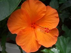 flower - orange hibiscus