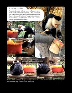 Feeding enrichment - icicles and ice cubes. Animal Welfare in Captivity and Environmental Enrichment book. Download free in English and/or Spanish on: https://www.scribd.com/collections/5757077/Animal-enrichement-and-welfare https://www.academia.edu/8754986/Environmental_Enrichment_and_Well-Being_of_Captive_LATAM_Mammals https://www.academia.edu/8755049/Enriquecimiento_Ambiental_y_Bienestar_de_Mam%C3%ADferos_en_Cautiverio