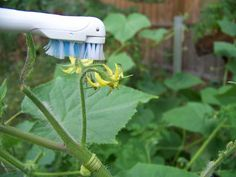 How to pollinate your tomatoes. Finally, a way to make sure I get more than just big plants!