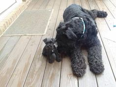 Beautiful giant schnauzer with tiny baby