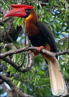 Hornbill Rufous / El Hornbill Rufous (Buceros hydrocorax), localmente conocido como Kalaw, es una especie grande de hornbill encontrado sólo en las Filipinas
