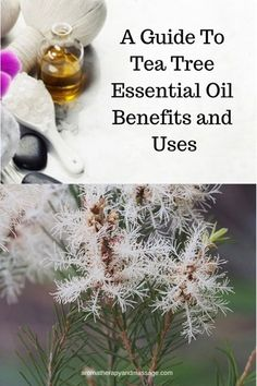 Tea tree essential oil (Melaleuca alternifolia) is one of the best known essential oils in aromatherapy. Learn the benefits and uses of tea tree oil. Essential Oil Safety, Are Essential Oils Safe, Tea Tree Essential Oil, Lemon Essential Oils, Vitamin E Uses, Homemade Deodorant, Aromatherapy Recipes, Oil Benefits, Tea Tree Oil