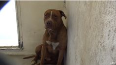 """CODE RED """"FRANKLIN"""" IN SHELTER SINCE 5/11 WILL BE KILLED AT ANYTIME! TEMPERAMENT TEST MUST BE REQUESTED IN PERSON! https://www.facebook.com/savingcarsonshelterdogs/videos/591116161061022/ … #CA"""
